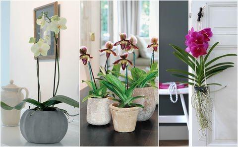 cuidar de suas orquídeas